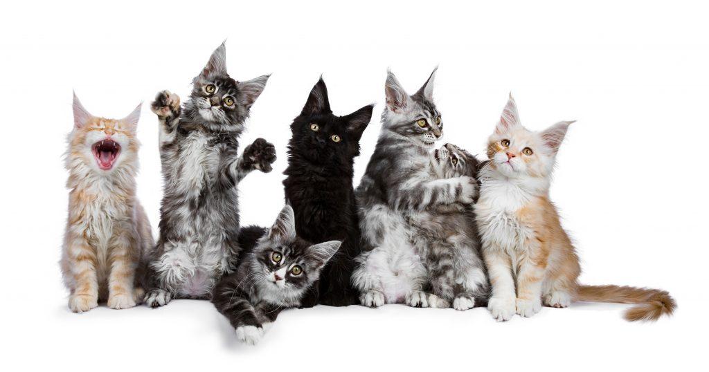 Maine Coon kattunger